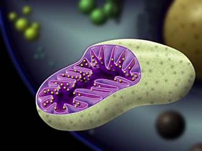 mitocondrial