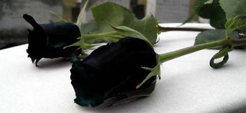 fallecimiento, muerte, negro, pésame, luto, rosa negra, festón, muerte