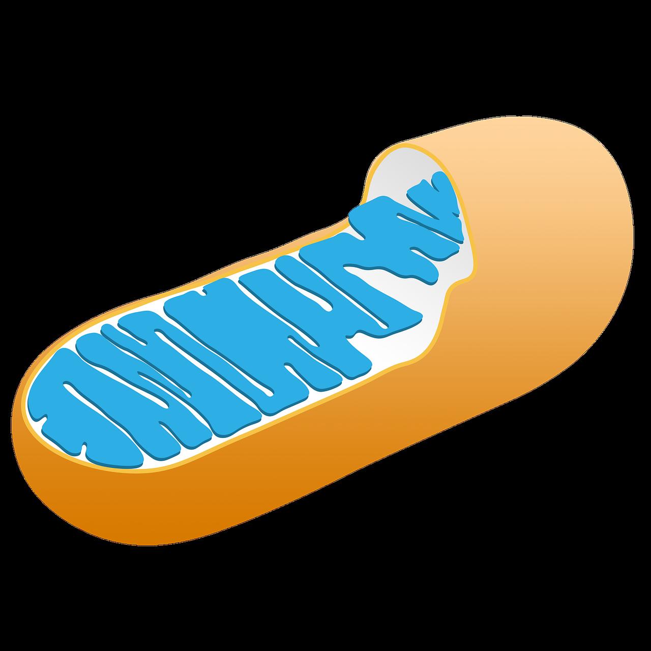 El tratamiento experimental obtiene una designación de terapia innovadora para la deficiencia de TK2, una forma de enfermedad mitocondrial