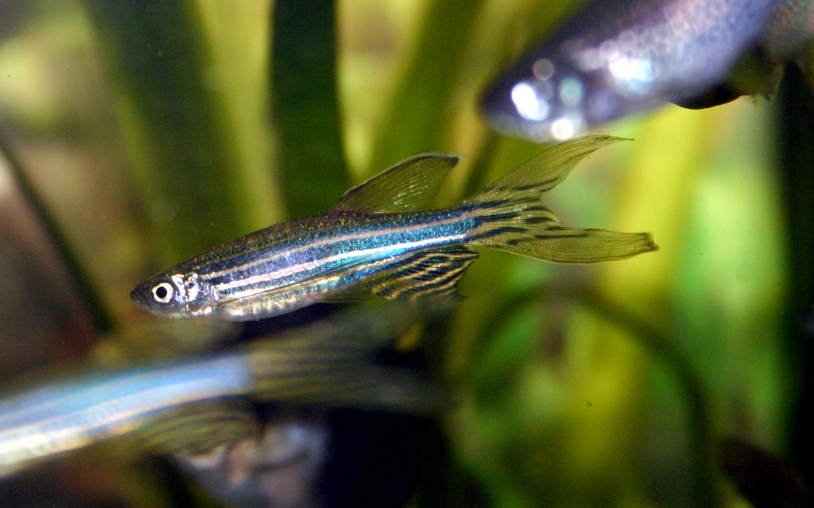 Investigadores que buscan curar la enfermedad de Cushing en el pez cebra