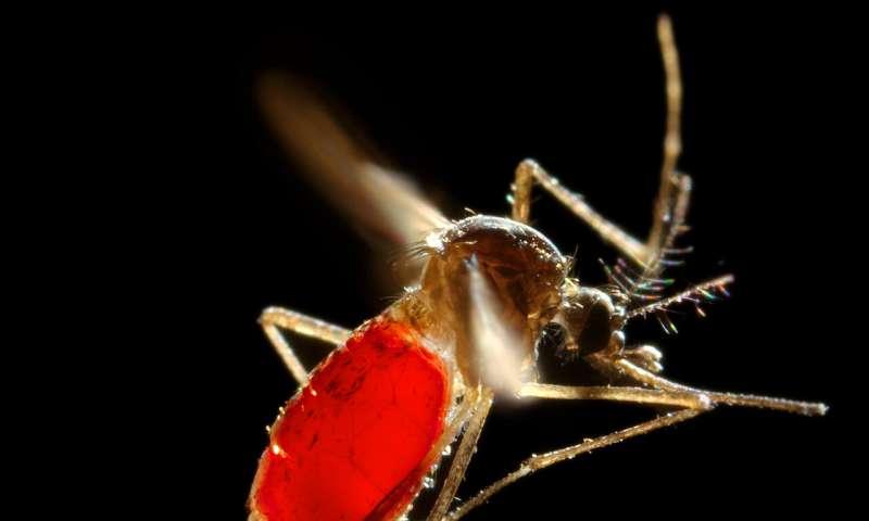 Capturar los desechos de mosquitos podría acelerar la detección de virus