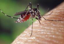 El virus del Zika destruyó el glioblastoma en ratones
