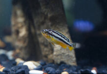 """""""Pelayo y el pez cebra ayudan en la investigación de las enfermedades raras"""""""
